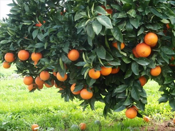 مراسم عروسی درخت نارنج در شیراز