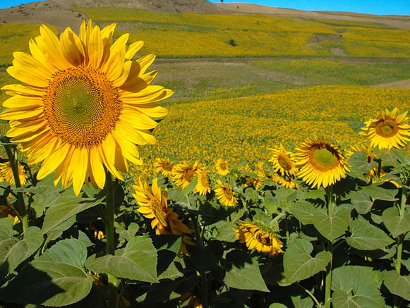 دشت گل های آفتابگردان کالپوش